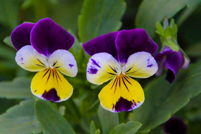 A close up horizontal image of purple and yellow Johnny-jump-up flowers with foliage in soft focus in the background.