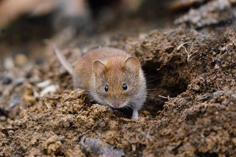 A close up horizontal image of a vole that looks cute but it likely to do an awful lot of damage in the garden.