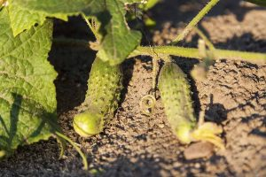 What Causes Holes in Homegrown Cucumbers?