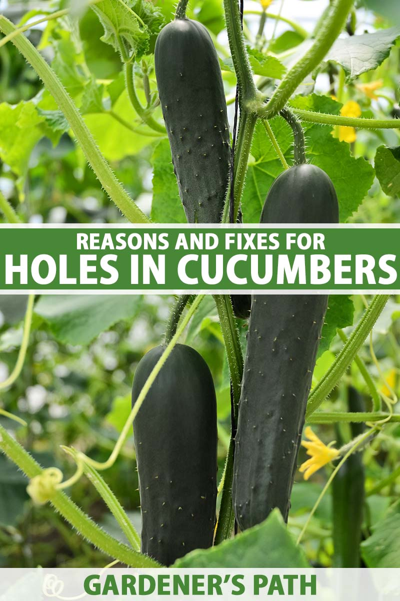 A close up vertical image of long cucumbers growing vertically on the vine in the garden. To the center and bottom of the frame is green and white printed text.