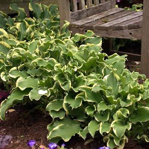 A close up square image of a 'Whee' hosta plant growing in a garden bed with a wooden bench in the background.