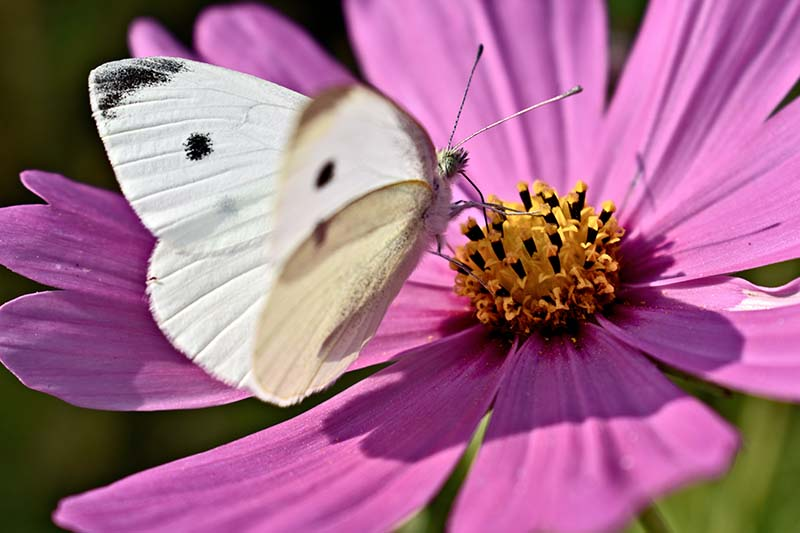 A close up horizontal image of a white cabbage moth feeding on a pink flower pictured in bright sunshine.