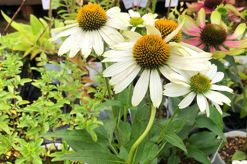 A close up horizontal image of white echinacea flowers growing in a container on a patio.