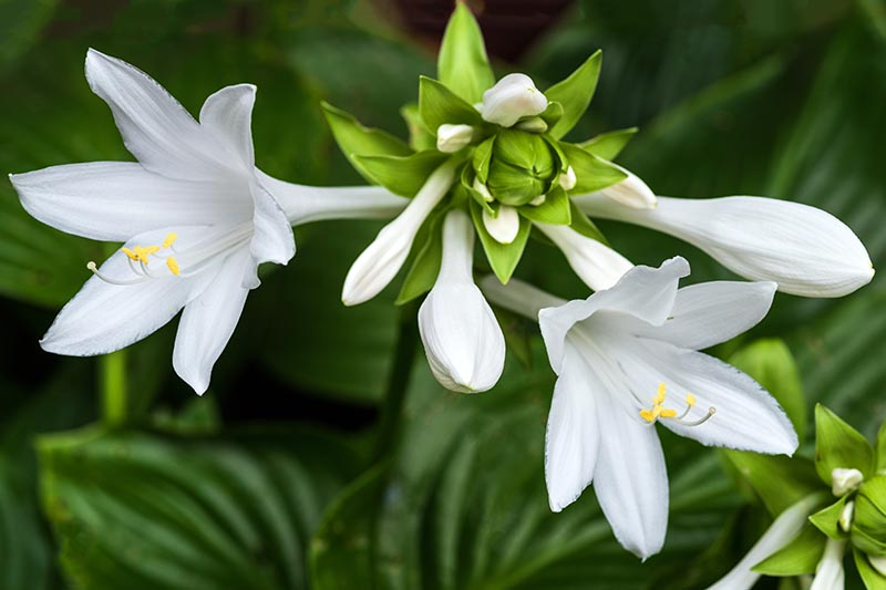 A close up horizontal image of white hosta flowers pictured on a soft focus background.