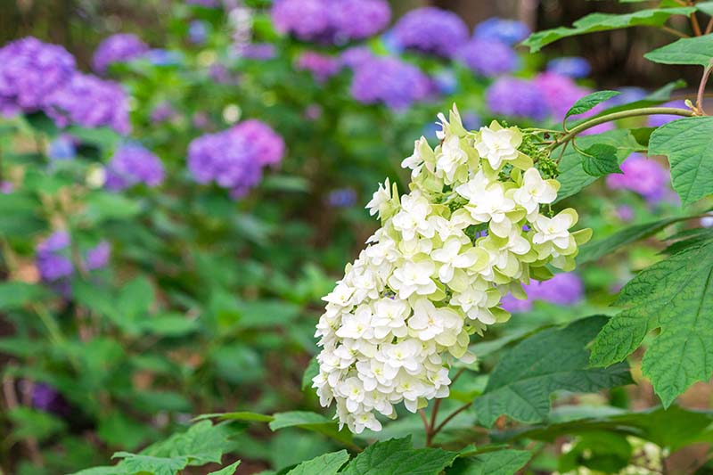 A close up horizontal image of Hydrangea quercifolia 'Snowflake' growing in the garden, with purple flowers in soft focus in the background.