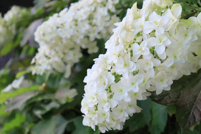 A close up horizontal image of the white blooms of oakleaf hydrangea growing in the garden.