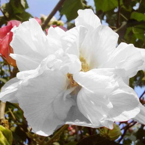 A close up square image of a white Hibiscus syriacus 'White Pillar' flower growing in the garden.