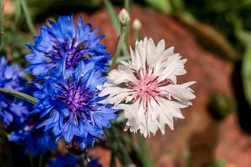 A close up horizontal image of white and blue cornflowers growing in the garden pictured in evening sunshine on a soft focus background.