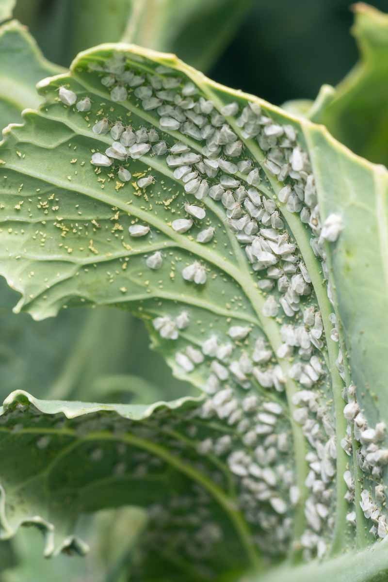A close up vertical image of a brassica plant that is suffering from a large infestation of whiteflies pictured on a soft focus background.