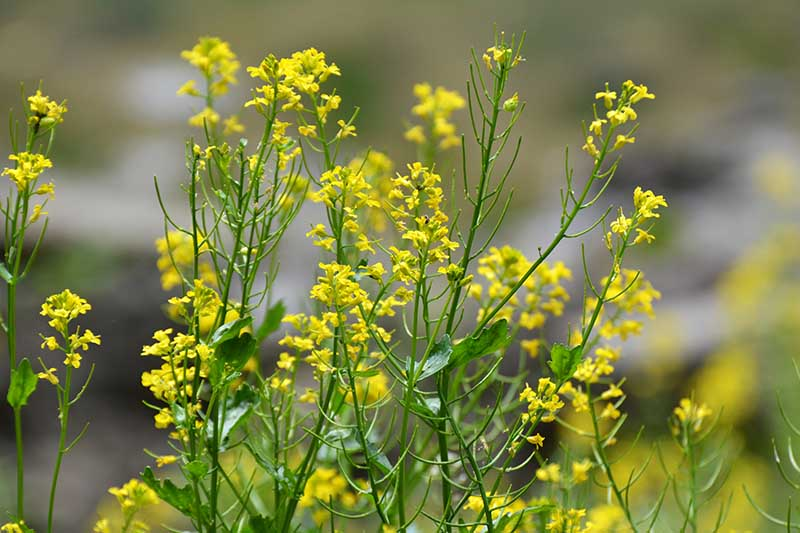 A close up horizontal image of the delicate yellow flowers of wild turnip growing in the garden pictured on a soft focus background.