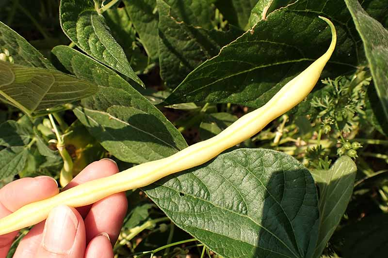 A close up horizontal image of a hand from the left of the frame holding a yellow bean that is ready to harvest.
