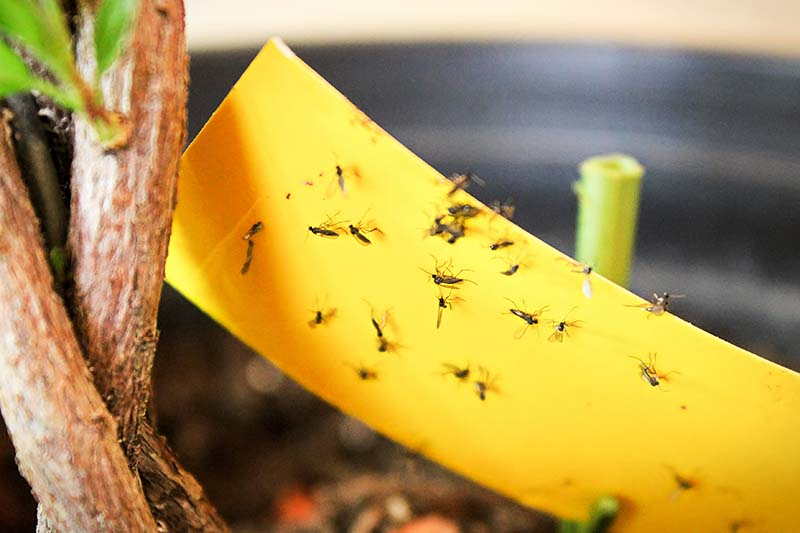 A close up horizontal image of yellow sticky traps being used to attract and trap fungus gnats.