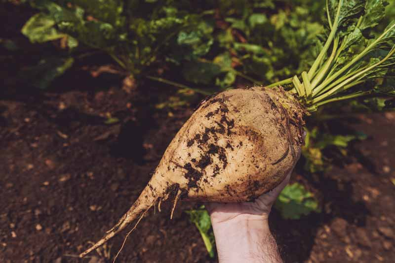 A close up horizontal image of a hand holding a freshly harvested sugar beet pulled from rich dark earth.