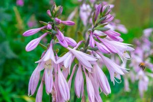 Keep or Cut: How to Make the Most of Hosta Flowers