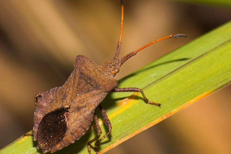 A close up horizontal image of an adult squash bug (Anasa tristis) on a stem, pictured in light sunshine pictured on a soft focus background.