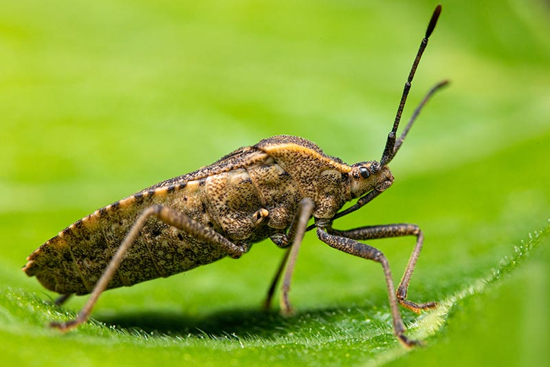 A close up horizontal image of the side view of an adult squash bug (Anasa tristis) on a green leaf.