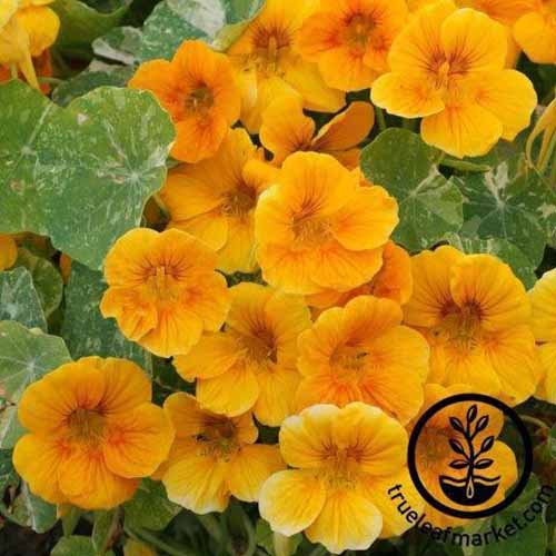 A close up square image of 'Alaska Gold' nasturtium flowers growing in the garden. To the bottom right of the frame is a black circular logo with text.