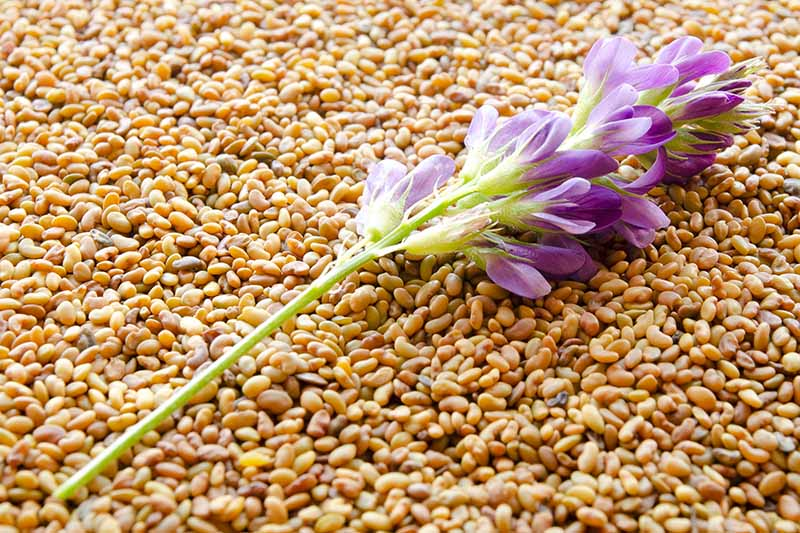 A close up horizontal image of a pile of alfalfa seeds with a purple flower on the top.