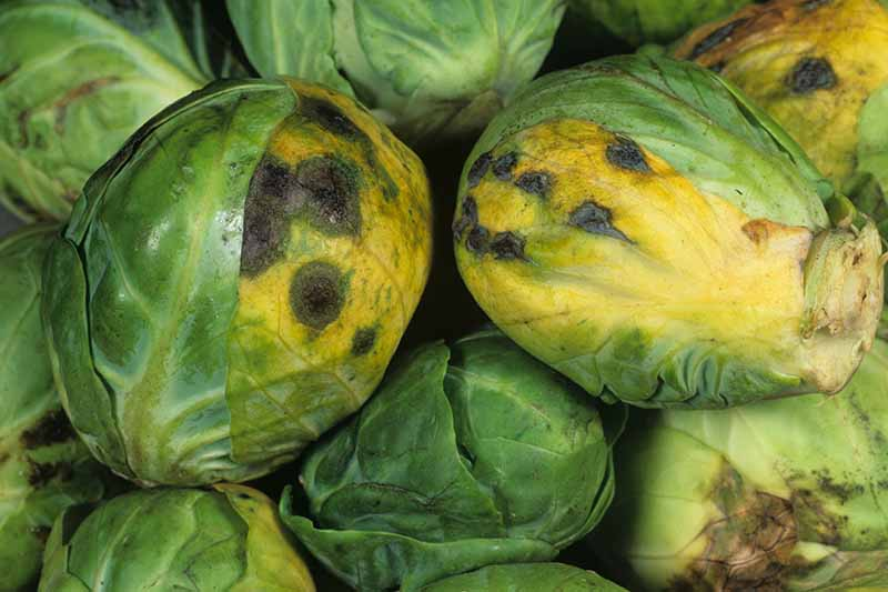 A close up horizontal image of harvested brussels sprouts showing symptoms Alternaria.