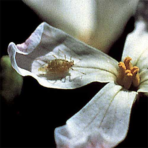 A close up square image of a beneficial predator on the petal of a white flower pictured on a soft focus background.