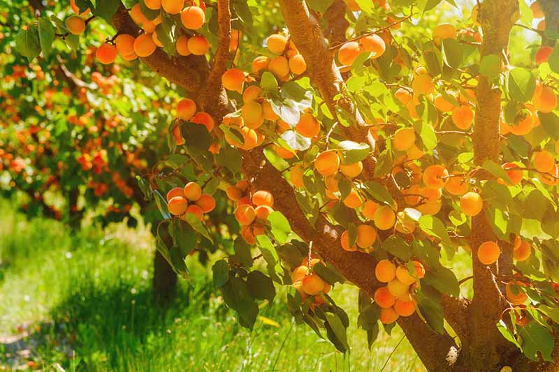 A close up horizontal image of an apricot tree laden with ripe fruit, growing in a home orchard pictured in light evening sunshine.