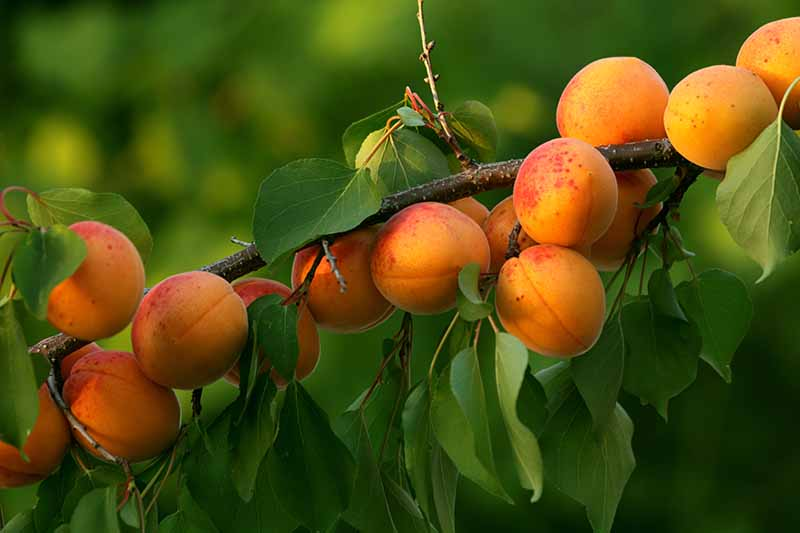 A close up horizontal image of ripe apricots growing on a branch pictured on a soft focus background.