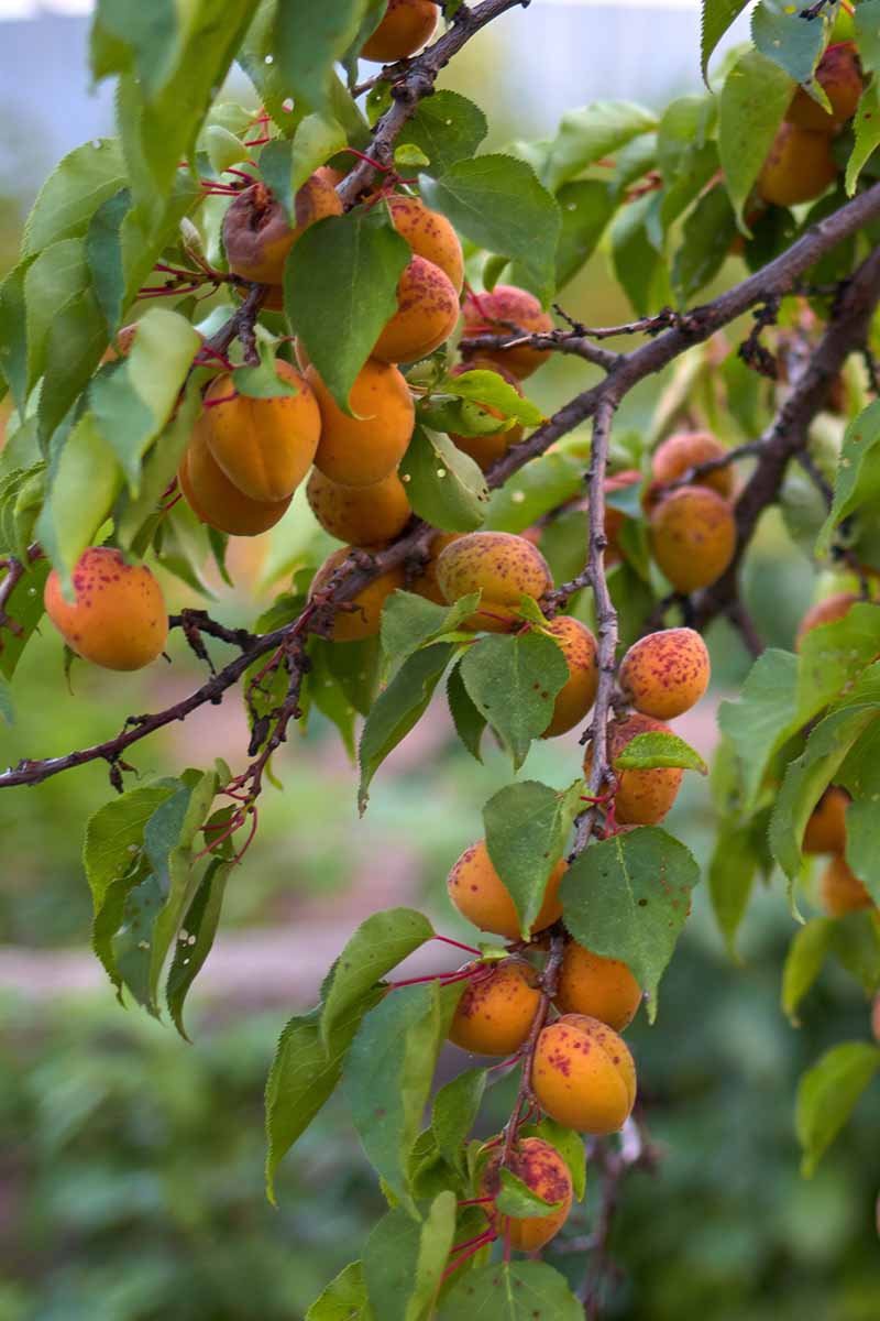 A close up vertical image of the branches and fruit of an apricot tree that has been infected with coryneum blight.