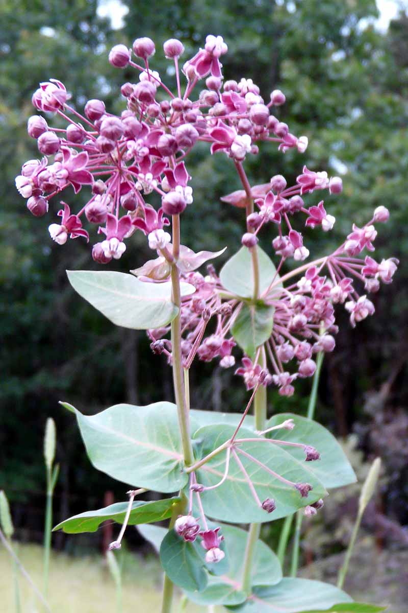 A close up vertical image of Asclepias cordifolia growing in the garden.