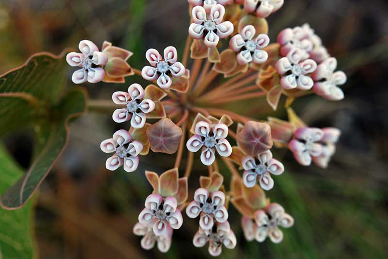 A close up horizontal image of a milkweed flower growing in the garden pictured on a soft focus background.