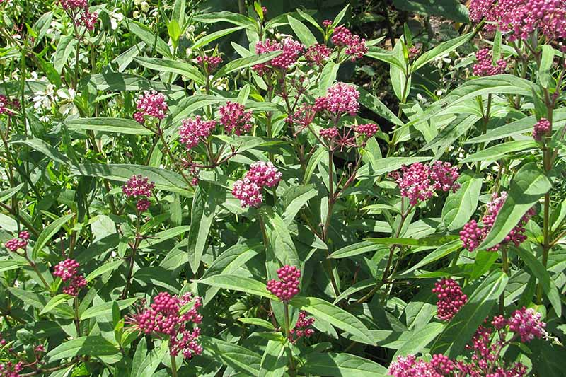A close up horizontal image of red Asclepias incarnata flowers growing in the garden pictured in bright sunshine.