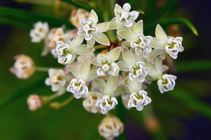 A close up horizontal image of a white Asclepias verticillata flower pictured on a soft focus background.