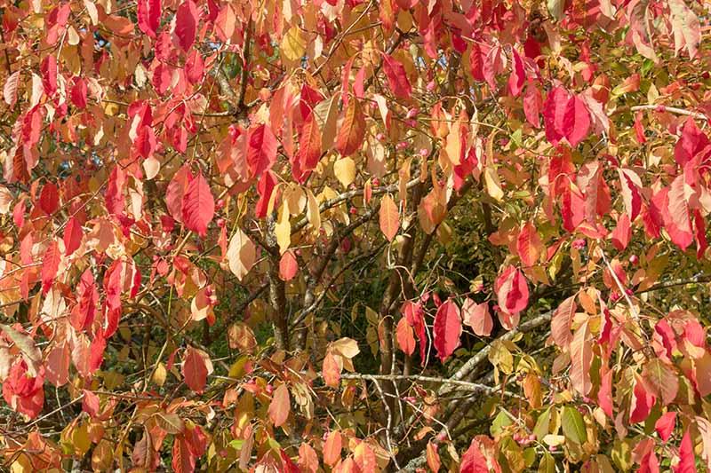 A close up horizontal image of the bright autumn colors of euonymus (aka burning bush).