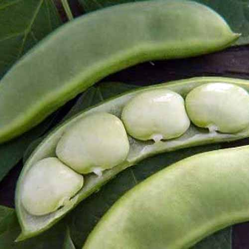 A close up square image of 'Baby Foordhook' lima beans spilt open to reveal the inside of the pod.