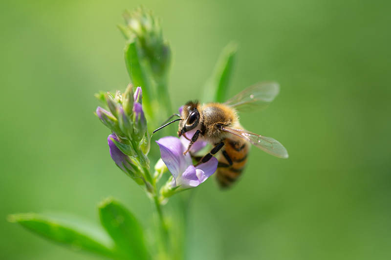 A close up horizontal image of a honey bee pollinating an alfalfa flower pictured on a green soft focus background.