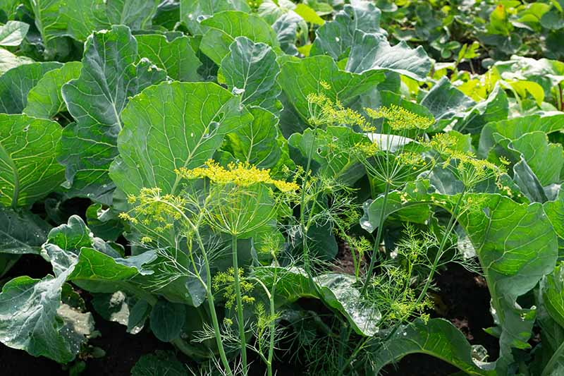 A horizontal image of a vegetable garden growing cauliflower and companion plants.
