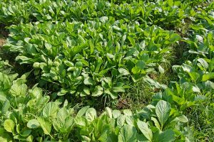 Must-Have Companion Plants for Mustard Greens (and What Not to Plant Nearby)