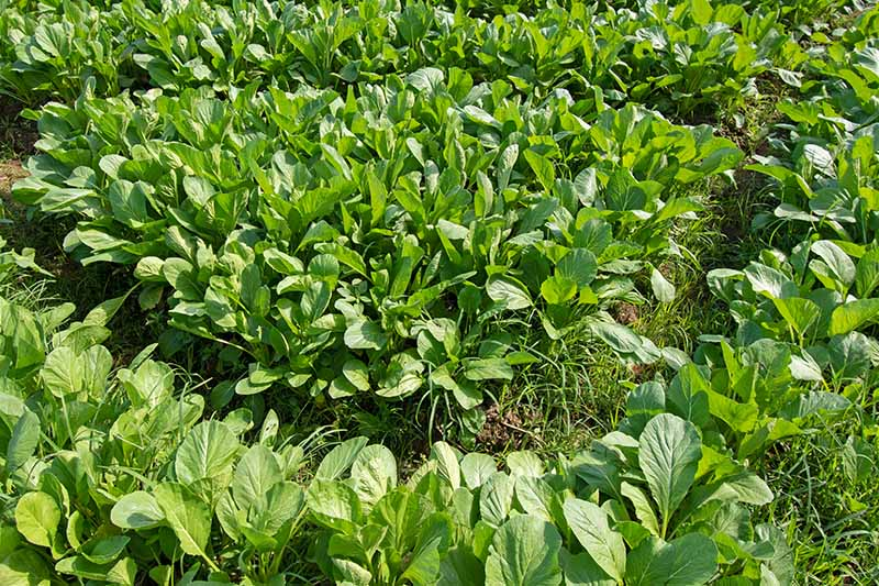 A close up horizontal image of mustard greens growing in the garden.