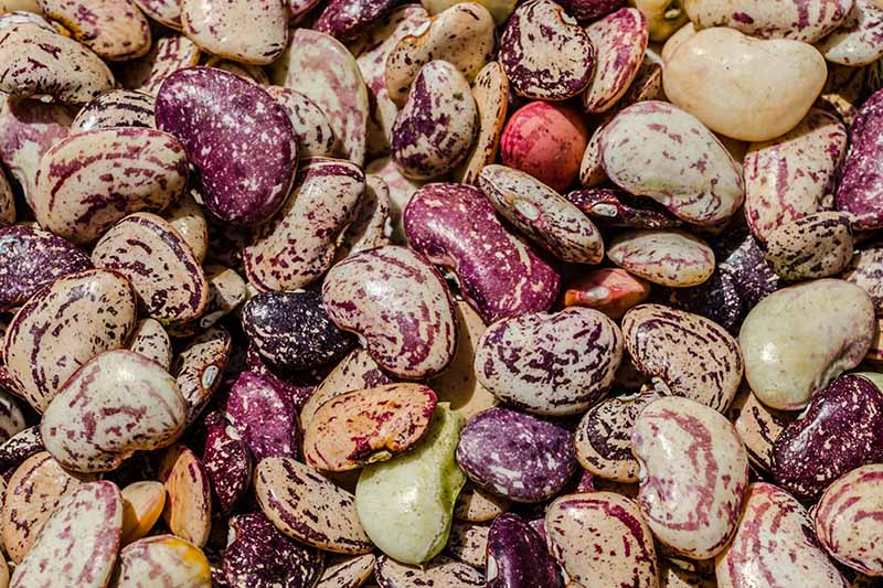 A close up horizontal image of a pile of lima and butterbeans.