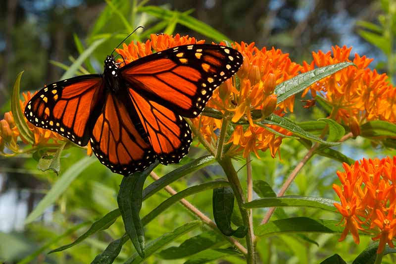 A close up horizontal image of a monarch butterfly feeding on a red and orange milkweed flowers pictured in light sunshine on a soft focus background.