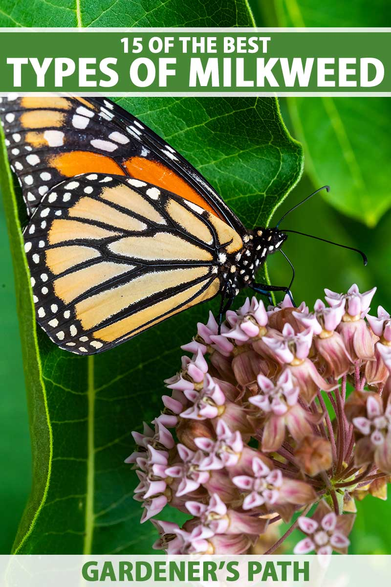 A close up vertical image of a Monarch butterfly feeding on a milkweed flower pictured on a soft focus background. To the top and bottom of the frame is green and white printed text.