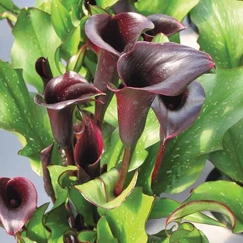 A close up square image of deep purple 'Black Star' calla lily flowers pictured on a soft focus background.