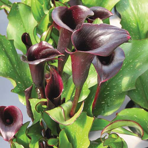 A close up square image of 'Black Star' calla lily flowers on a soft focus background.