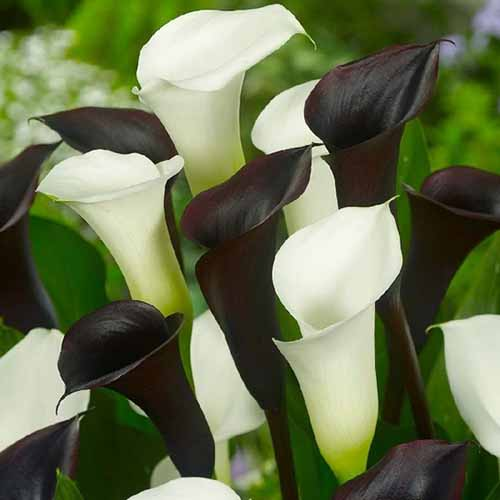 A close up square image of white and black Zantedeschia flowers pictured on a soft focus background.