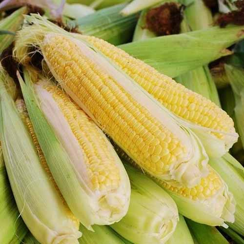 A close up square image of a pile of freshly harvested 'Bodacious' corn.