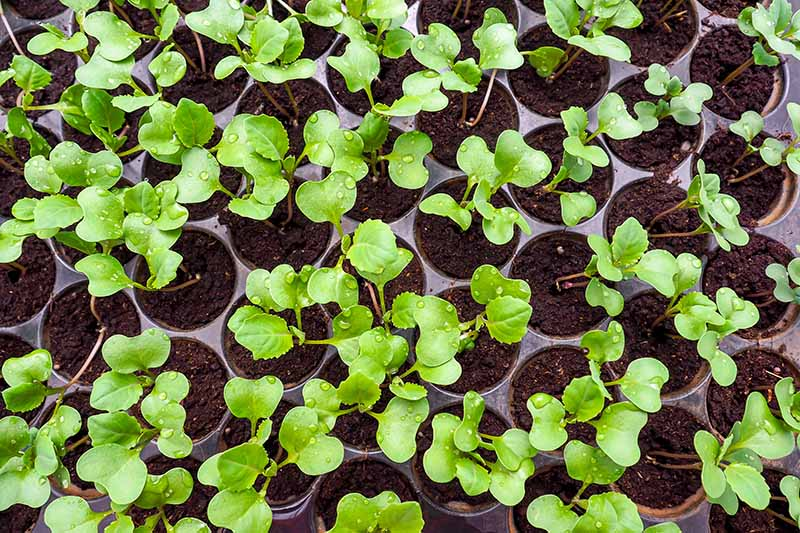 A close up horizontal image of seed flats with tiny seedlings ready for transplanting into the garden.