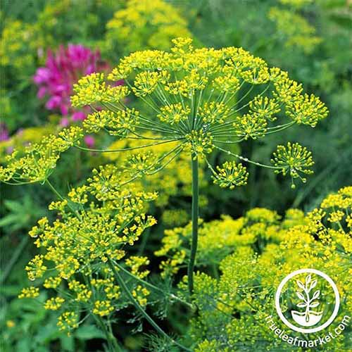 A close up square image of 'Bouquet' dill growing in the garden. To the bottom right of the frame is a white circular logo with text.