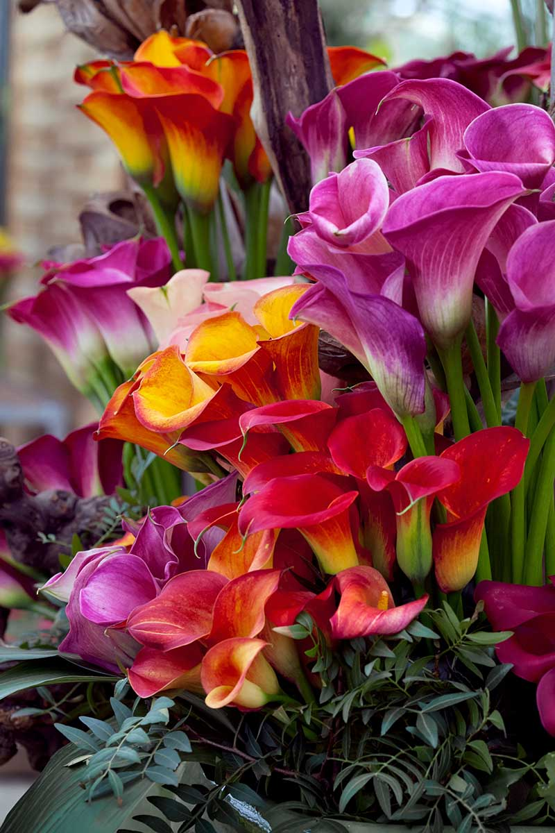 A close up vertical image of a bouquet of different colored calla lilies surrounded by foliage.
