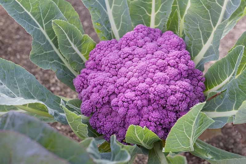 A close up horizontal image of a purple cauliflower head that is ready to harvest growing in the garden.