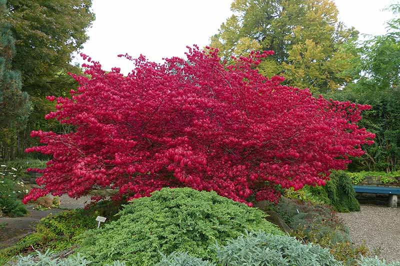 A horizontal image of the dramatic red foliage of a burning bush shrub growing in a formal garden.
