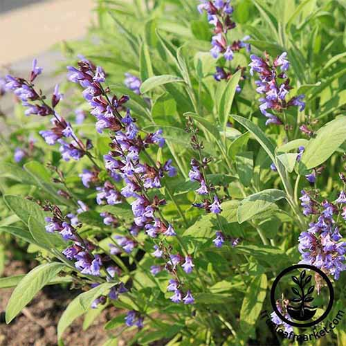 A close up square image of broadleaf sage with purple flowers growing in the garden. To the bottom right of the frame is a black circular logo with text.